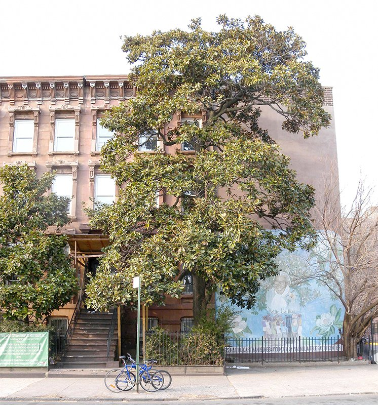Magnolia Grandiflora in Bedford-Stuyvesant is One of Two City Trees Designated a NYC Landmark