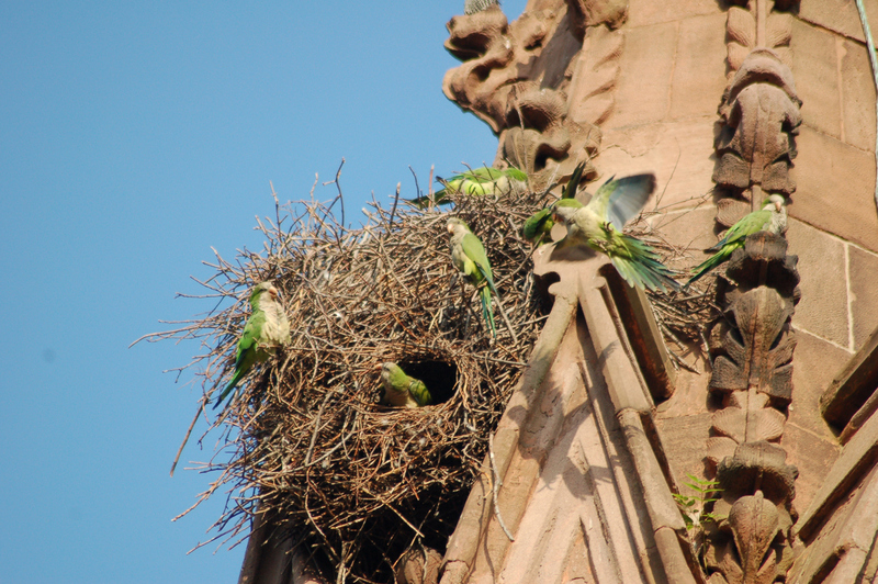green-wood-cemetery-monk parrots-nyc-untapped cities