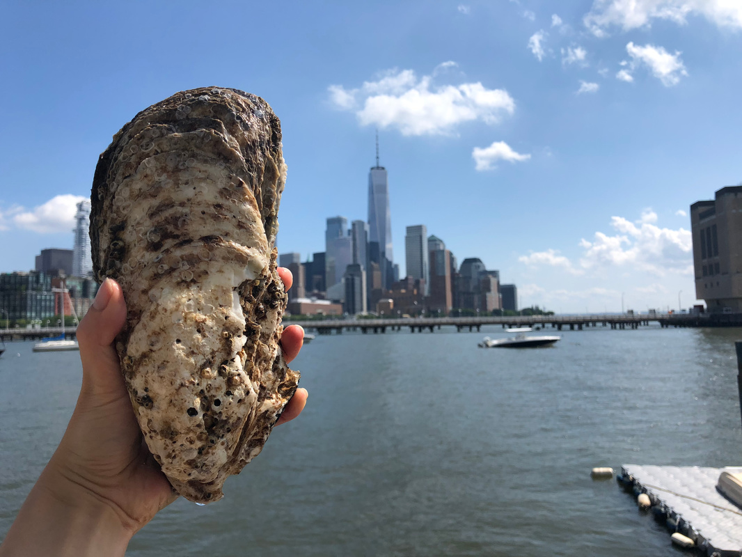 A Shoe-Sized Oyster Found in the Hudson River