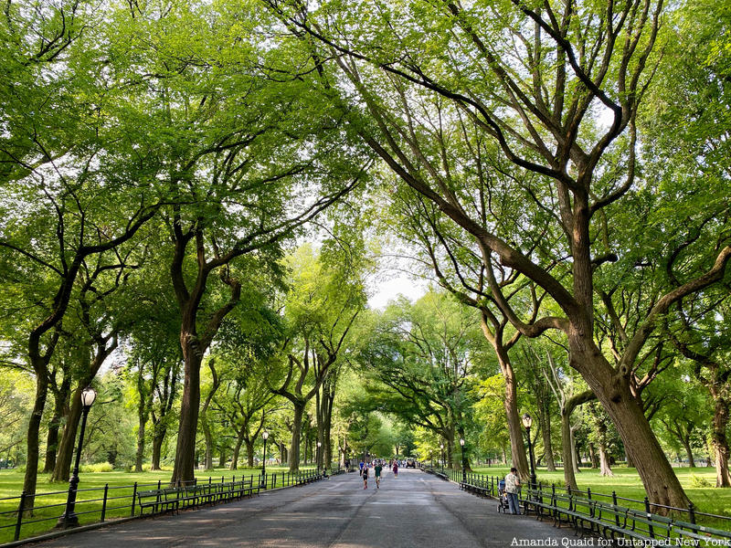 Grove of American Elms in Central Park