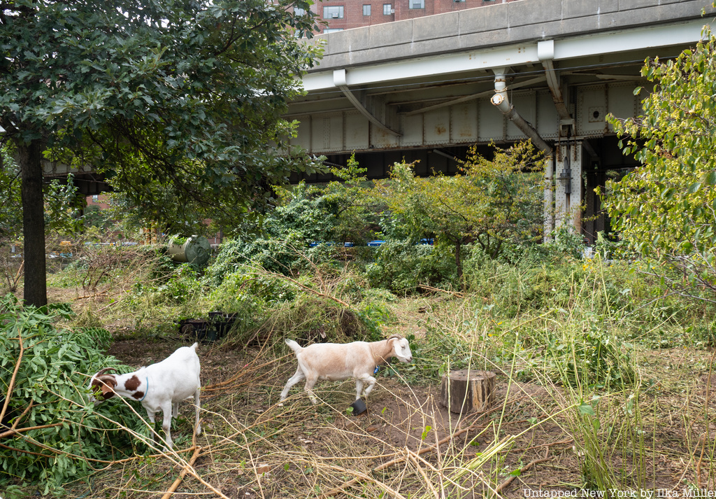 Goats eating weeds in Stuyvesant Cove Park